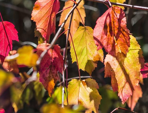 Geel-paarse herfstbladeren