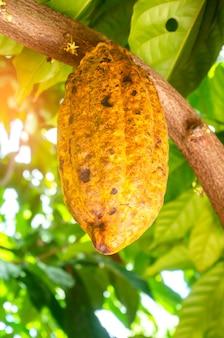 Geel rijp cacaofruit aan de boom