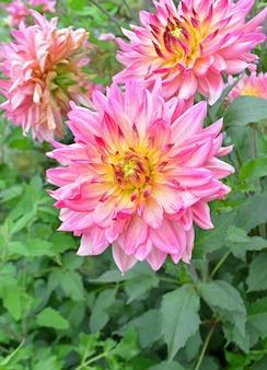 Geel-roze dahlia