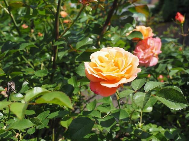 Geel roze roze bloem
