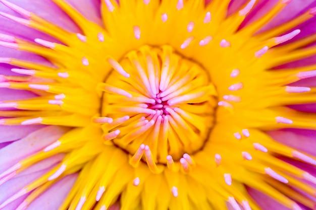 Geel stuifmeel van roze lotusbloem - close-up