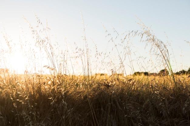 Geel tarwegebied bij zonsondergang. zomer