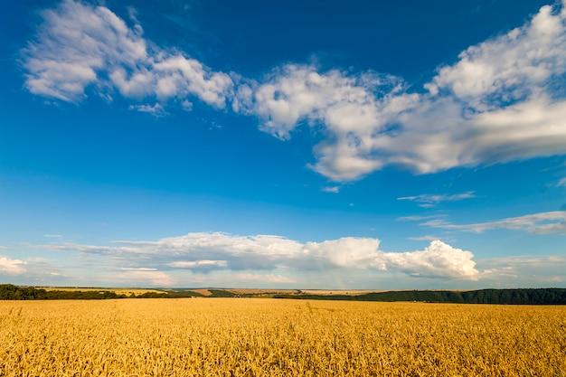 Geel tarwegebied onder blauwe hemel