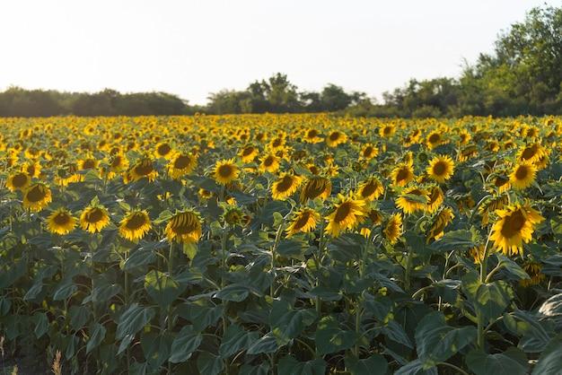 Geel veld met zonnebloemen op de zonsondergang