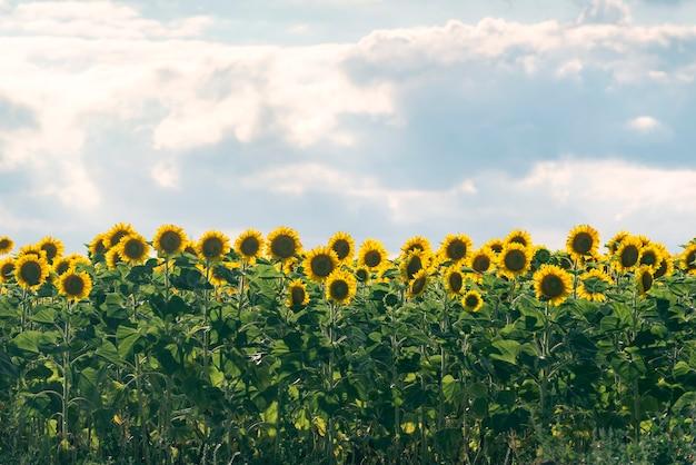 Geel veld met zonnebloemen tegen de blauwe hemel