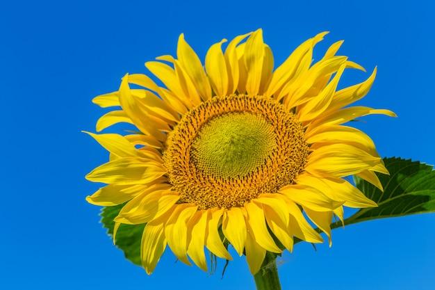 Geel veld met zonnebloemen