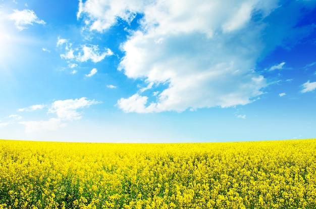 Geel veldkoolzaad in bloei