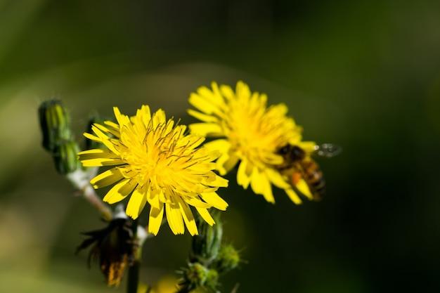 Geel zaait distelbloemen, bestoven door een bezige bij die stuifmeel verzamelt voor honing.