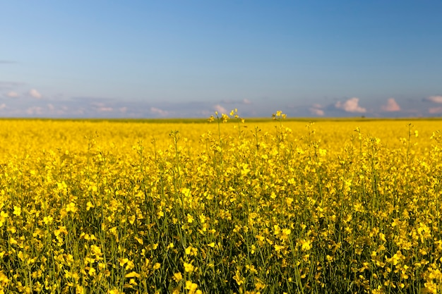Geelbloeiend koolzaad in de landbouw, landbouw als activiteit en bedrijf, hoogwaardige selectie van koolzaadvariëteiten om de grootst mogelijke voedselopbrengst te verkrijgen