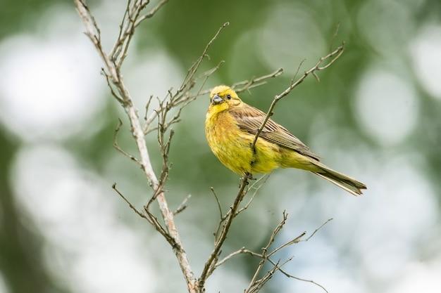Geelgors (emberiza-citrinella) op bemoste tak. deze vogel trekt gedeeltelijk, waarbij een groot deel van de populatie verder naar het zuiden overwintert.