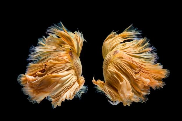 Geelgoud bettavis, siamese het vechten vissen op zwarte achtergrond