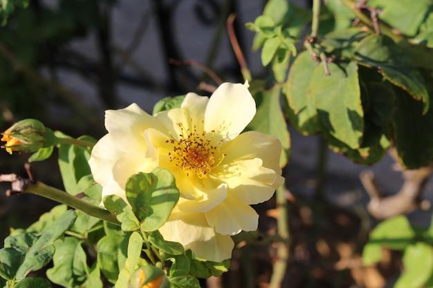 Geelgouden bloemenveld onder het daglicht van het zomerseizoen