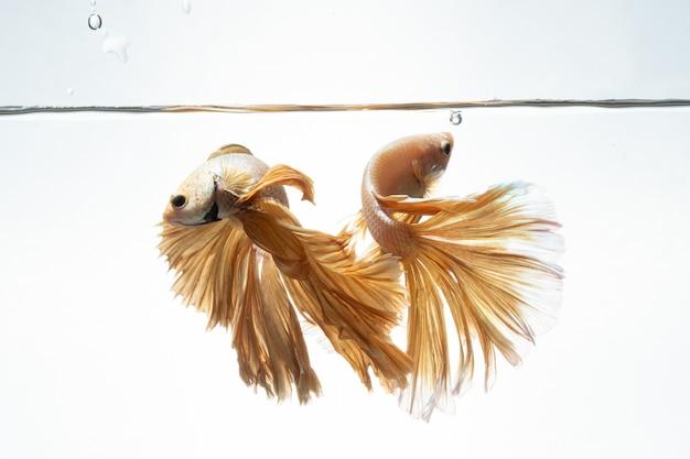 Geelgouden kleur van siamese vechten vis betta beweging op witte achtergrond