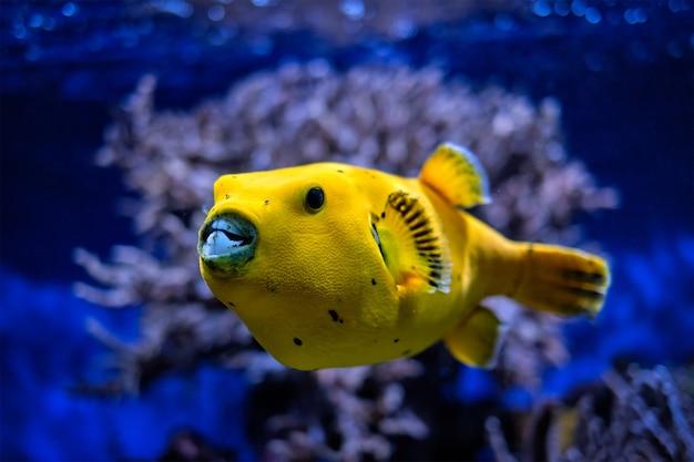 Geelgouden kogelvis parelhoen kogelvis onderwater