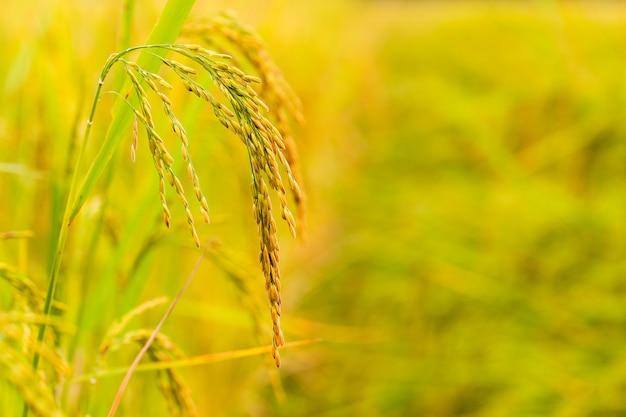 Geelgroen padieveld