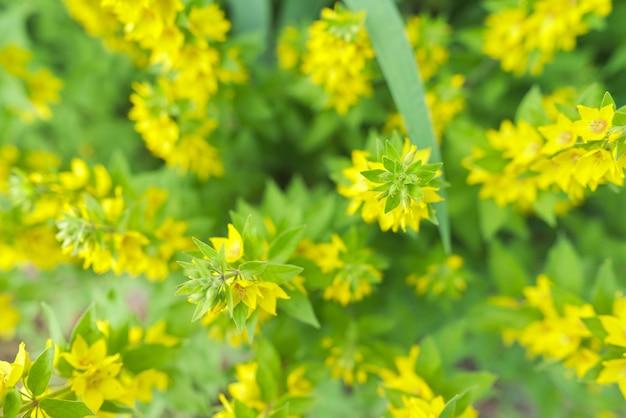 Geelgroene bloemenachtergrond, textuur. lysimachia punctata plant bloem close-up