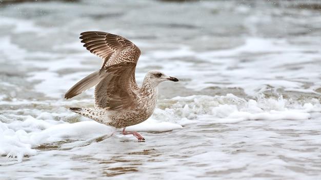 Geelpootmeeuw, larus michahellis, spetterend in het baltische zeewater. close-up van juveniele zeemeeuw die vleugels spreidt, wandelend aan de kust.