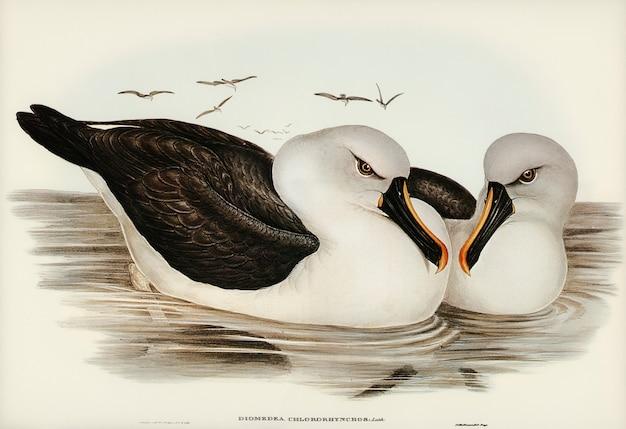 Geelsnavelkleurige albatros (diomedea chlororhynchos) geïllustreerd door elizabeth gould
