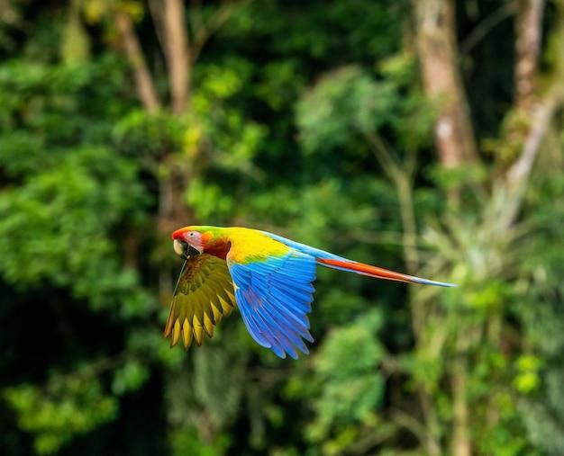 Geelvleugelara, ara macao, in tropisch woud, costa rica. rode vogel tijdens de vlucht in de groene jungle habitat.
