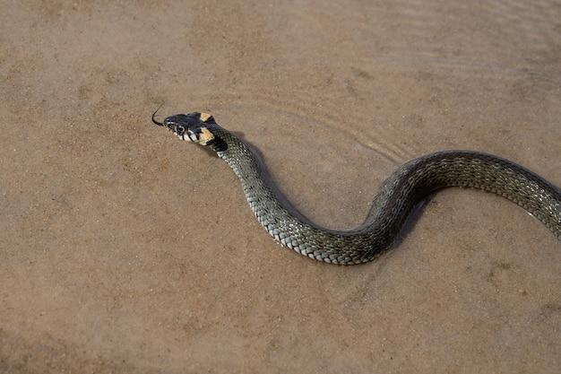 Geen giftige donkergroene slang (ringslang), met gele vlekken op zijn kop, zwemt op transparant water