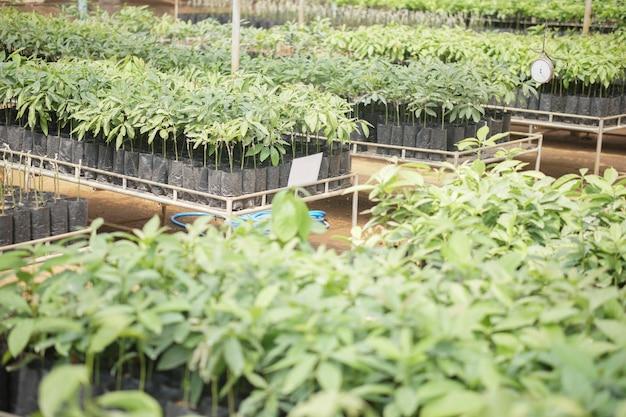 Geënte avocado fruitplant boom enten in kwekerij. vermeerdering van avocado's