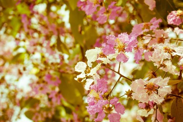 Gefilterd tot vintage kleur van de roze kleur van queen's crape mirte bloem. (lagerstroemia speciosa (l.) pers.)