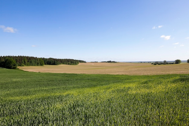 Gefotografeerd close-up grasgroen onvolwassen. de blauwe hemel als achtergrond