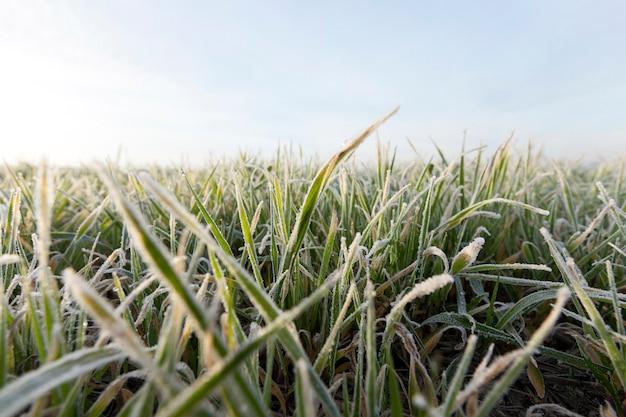 Gefotografeerd close-up jonge gras planten groene tarwe groeien op landbouwgebied, landbouw, tegen de blauwe hemel