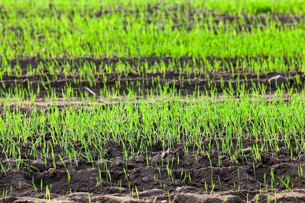 Gefotografeerd close-up jonge grasplanten groene tarwe groeien op het gebied van landbouw, landbouw