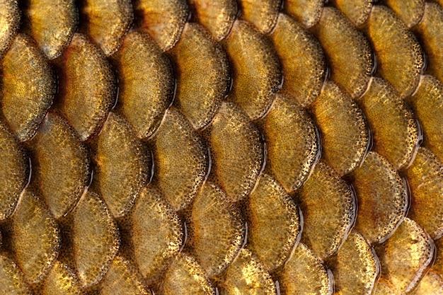 Gefotografeerd close-up van vissen squama karper familie.