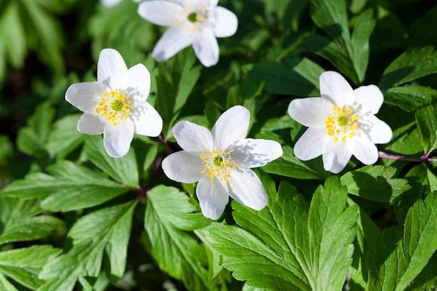 Gefotografeerd close-up witte lentebloemen. woud