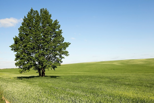 Gefotografeerd onrijp groen gras in de zomer, blauwe lucht