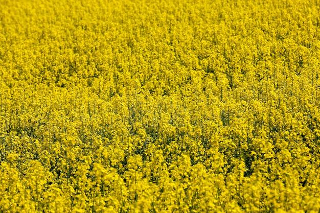 Gefotografeerde close-up gele koolzaadbloemen in de lente