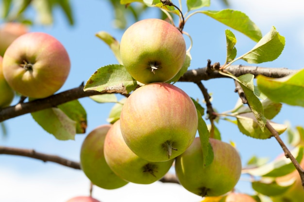Gefotografeerde close-up van appels die aan de bomen in de boomgaard groeien. het zomerseizoen, een kleine scherptediepte