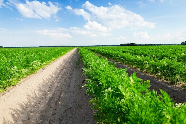 Gefotografeerde close-up van een landbouwveld waarop groene scheuten van wortelen groeien, op een achtergrond van blauwe lucht met witte wolken