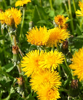 Gefotografeerde close-up van gele paardebloemen in de lente, ondiepe scherptediepte