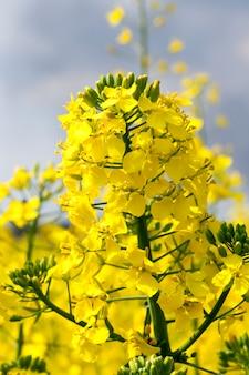Gefotografeerde close-up van gele verkrachtingsbloemen tijdens bewolking en onweersbuien