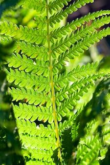 Gefotografeerde close-up van groene varenbladeren, een kleine scherptediepte. tegenlicht van de achterliggende zon