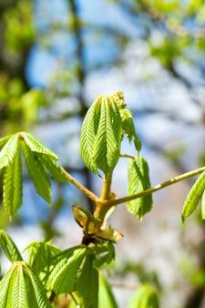 Gefotografeerde close-up van jonge groene bladeren van kastanje, een kleine scherptediepte