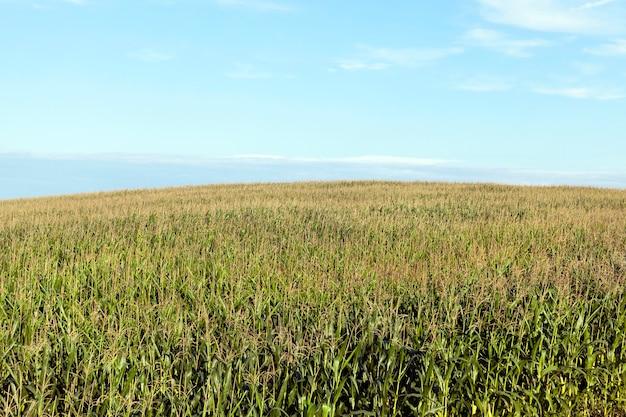 Gefotografeerde close-up van rijp geel gedroogd maïs groeien op een landbouwgebied. open oren plant. herfstseizoen