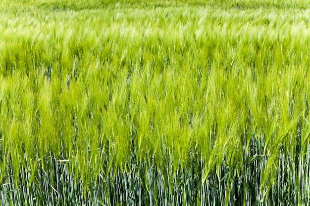 Gefotografeerde dichte omhooggaande groene onrijpe tarwekiemen