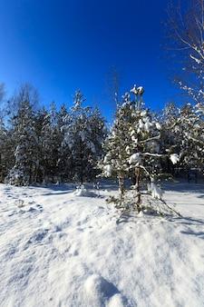 Gefotografeerde dichte omhooggaande spar in de winter