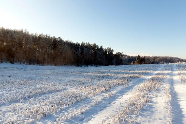 Gefotografeerde sneeuwballen op de stengels van rogge in de winter