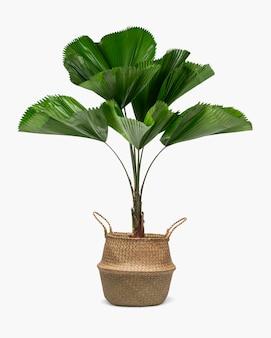 Gegolfde bladpalmplant in een rotanmand