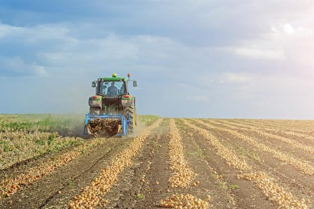 Gegraven uien in het veld in rijen, vóór het oogsten door een maaidorser