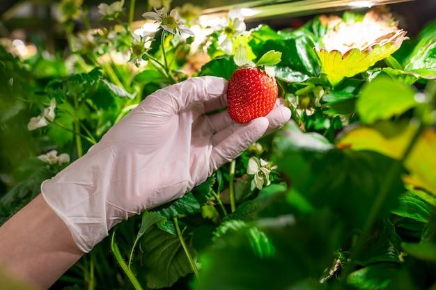 Gehandschoende hand van jonge werknemer van verticale boerderij of kas met rode rijpe aardbeien die groeien tussen groene bladeren en witte bloesem