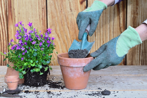 Gehandschoende handen van een vrouw die een schep vol aarde en plant vasthoudt met zijn kluit om op te potten