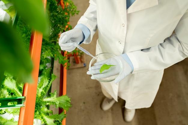 Gehandschoende handen van hedendaagse agro-ingenieur in whitecoat met petrischaaltje met monster van groen slablad en plastic pipet eroverheen