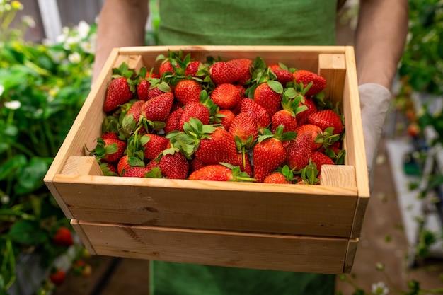 Gehandschoende handen van jonge mannelijke werknemer van verticale boerderij of broeikas met houten kist met een hoop rijpe aardbeien voor de camera