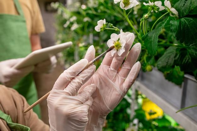 Gehandschoende handen van verticale landarbeider die borstel gebruikt terwijl hij aardbeienbloesem vasthoudt en probeert naburige zaailingen te bestuiven